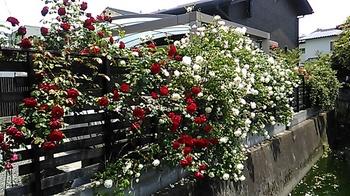 松末の薔薇 (1).JPG