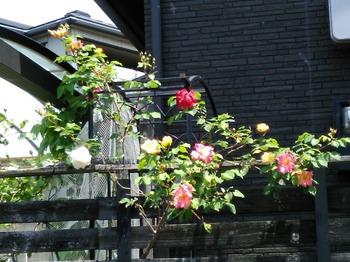 松末の薔薇 (3).JPG