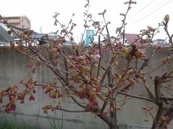 陽光桜 (1).jpg