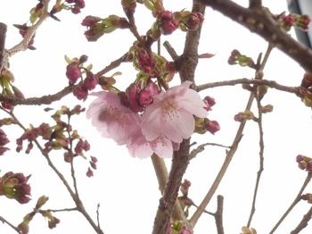 陽光桜 (2) (800x600).jpg